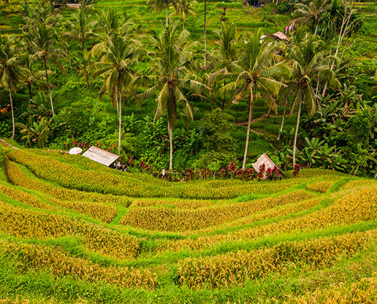 Rice Terraces in Tegalalang